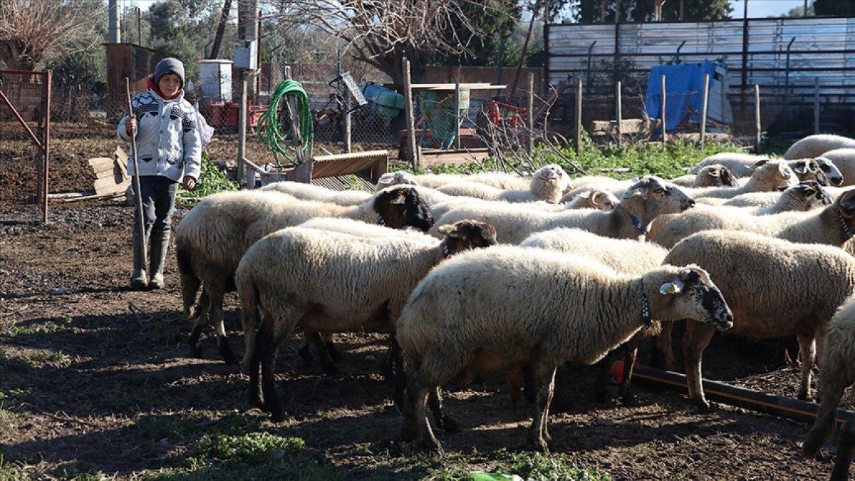 Sosyal medya fenomeni Havranlı Şevki Savran ın koyunları sigortalandı #2